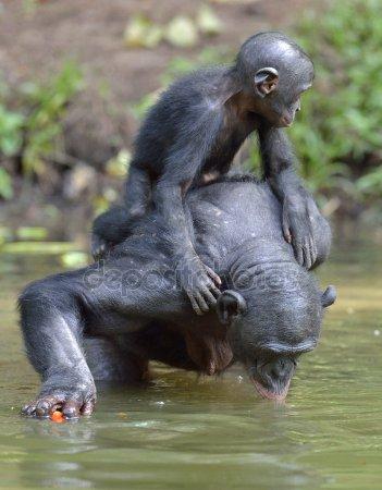 depositphotos_109503948-stock-photo-the-bonobos-pan-paniscus-mating
