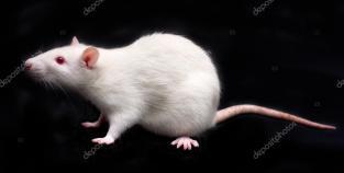 depositphotos_45502649-stock-photo-white-rat