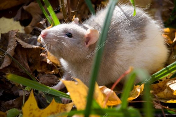depositphotos_6015407-stock-photo-domestic-rat-in-the-woods