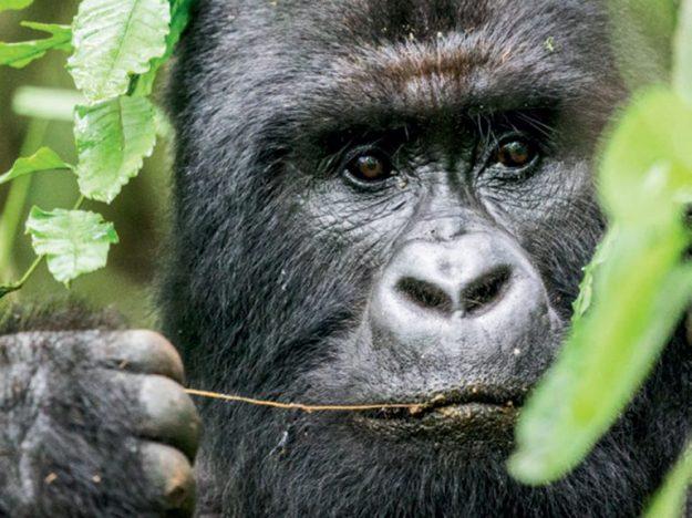 gorilla-DRC-teagan-cunniffe-768x576