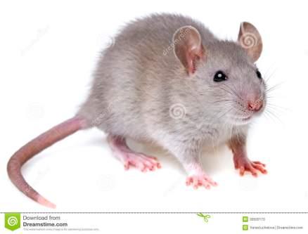 ratto-grigio-30500173
