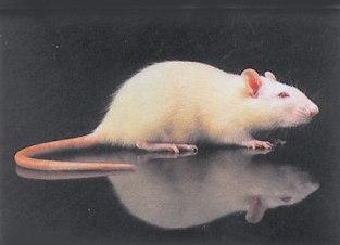 ratto