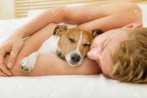 jack russell dog in bed resting or sleeping , with owner dreaming in bedroom close together